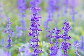 image of salvia  - Beautiful spring background with Salvia farinacea Benth - JPG