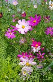 picture of cosmos flowers  - Beautiful Cosmos flowers close up summer background - JPG