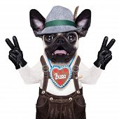stock photo of pug  - silly crazy pug dog dressed up as bavarian with gingerbread as collar isolated on white background and victory or peace fingers surprised or shocked - JPG