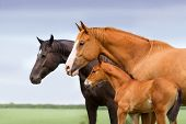 stock photo of pastures  - Portrait of two mares and foal at pasture - JPG