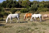 pic of pastures  - Three Lipizzaner and Haflinger on the summer pasture - JPG