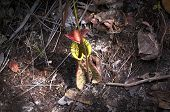 picture of jungle flowers  - nepenthes  - JPG