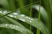 pic of raindrops  - Rows of silvery raindrops glowing on green grass leaves - JPG
