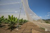 pic of greenhouse  - Banana growing in plantation greenhouse industry agriculture - JPG