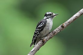 picture of woodpecker  - A female downy woodpecker perching on a branch in summer - JPG
