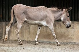 picture of wild donkey  - Somali wild ass  - JPG