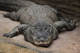 foto of alligator  - American alligator  - JPG