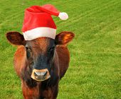 stock photo of santa claus hat  - Grazing cow in a Santas hat - JPG