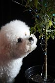 Marijuana Plant. Bichon Frise dog Sniffs a Marijuana Plant. Marijuana Plant with Christmas Lights. S poster