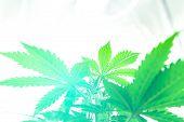 Grow In Grow Box Tent. Planting Cannabis. Grow Legal Recreational Cannabis. Cannabis Flower Indoor G poster