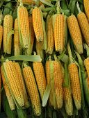 picture of biogas  - yellow fresh corn on a nice market - JPG