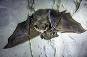 Angry Pair Of Bats Disturbed During Hibernation. poster