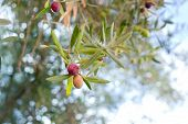 picture of olive trees  - olive branch - JPG