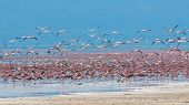 Flocks Of Flamingo