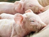 image of lactation  - Two Newborn Pigs Feeding on Mothers Milk - JPG