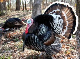 picture of wild turkey  - wild turkeys strolling through the woods - JPG