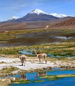 Vicugnas Graze In The Atacama, Volcanoes Licancabur And Juriques. Chile-argentina-bolivia