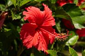 stock photo of hibiscus flower  - The hibiscus flower is traditionally worn by Hawaiian women - JPG