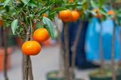 stock photo of tangerine-tree  - Biological tangerine on tree in the pot - JPG