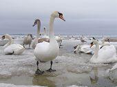Curios Swan poster