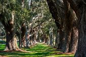 foto of old spanish trail  - LInes of old oak trees around a lane of green grass