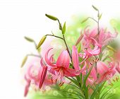 foto of asiatic lily  - Beautiful asiatic pink lily flowers on white background it is isolated - JPG