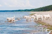 stock photo of golden retriever puppy  - golden retriever puppies at the beach in summer - JPG