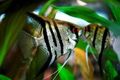 image of angelfish  - striped angelfish in aquarium - JPG