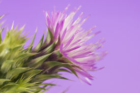 image of scottish thistle  - Thistle with purple flower isolated over a studio background - JPG