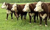 pic of pasture  - hereford cattle standing on a green summer pasture - JPG