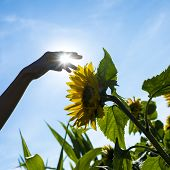 stock photo of heliotrope  - Person touching a yellow sunflower with a bright sunburst between his fingers against a clear blue summer sky - JPG