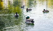 picture of canard  - A duck cleaning it - JPG