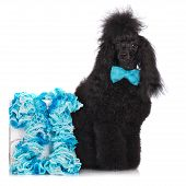 stock photo of standard poodle  - adorable black poodle dog on white background - JPG