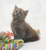 pic of heartwarming  - Fluffy gray kitten sitting looking up coiled serpentine on a white background - JPG
