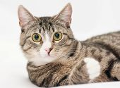 image of heartwarming  - Tabby cat with yellow eyes and white nose looking forward on white background - JPG
