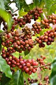 stock photo of coffee crop  - fresh arabica coffee bean in coffee garden - JPG