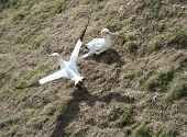 foto of gannet  - Pair of nesting wild Northern Gannets morus bassanus on grassy of english coastline - JPG