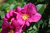 stock photo of dog-rose  - Beautiful flower of a bright Dog Roses - JPG