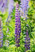 picture of lilas  - Violet Lupines flower growing in garden Sweden - JPG