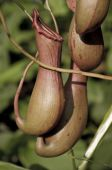 pic of nepenthes  - Close - JPG