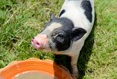 stock photo of pot bellied pig  - Thai style Vietnamese Pot Belly piglet nursery house in Thai pig farm - JPG