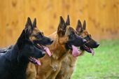 stock photo of german shepherd  - Four dogs of breed a German shepherd in a profile attentively look afar - JPG