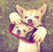 a cute chihuahua in the grass taking a selfie on a cell phone done with a vintage retro instagram filter poster