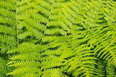 pic of spores  - Perennial herbaceous plant spore fern  family - JPG