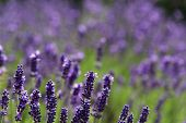 image of lavender plant  - Lavender meadow flowers in lavender colored blue - JPG