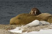 pic of tusks  - Walrus showing tusks on snowy Arctic beach - JPG