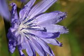 picture of chicory  - Chicory Flower in early morning sun with light background