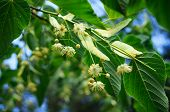 pic of linden-tree  - Bloomin of linden tree in a garden - JPG