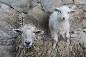 stock photo of baby sheep  - Mother sheep and baby lamb at the zoo - JPG