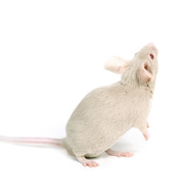 picture of fancy mouse  - little beige mouse looking on something on white background - JPG